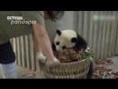 Маленькі панди хулігани стали хітом інтернету