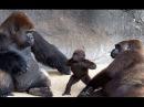 Gorilas Em Cenas Super Divertidas