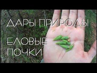 дары природы / еловые почки / сбор