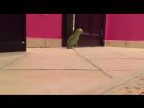 Зловещий смех попугая!