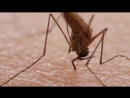 How Mosquitoes Use Six Needles to Suck Your Blood _ Deep Look