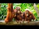 Приколы с обезьянами - Смешные обезьяны - Новая подборка приколов!