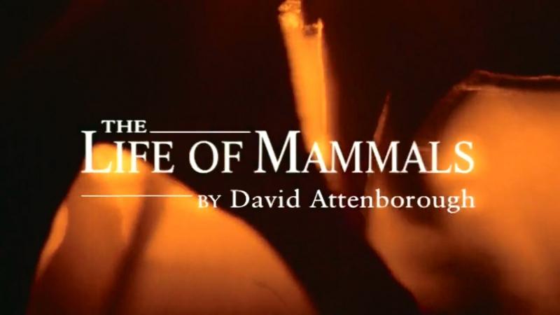 BBC Жизнь млекопитающих 08. Жизнь на деревьях / The Life of Mammals (2003) HD
