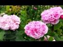 Романтический сад роз. Аббатство Mottisfont