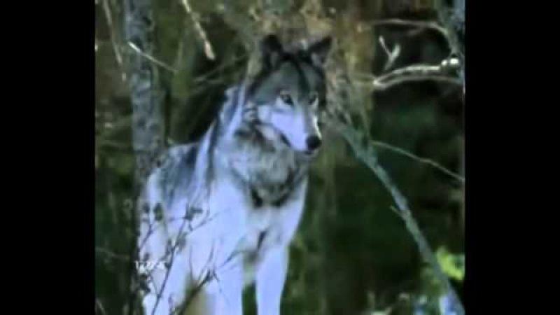 Клип Одинокий волк 01 04 2013г S V N