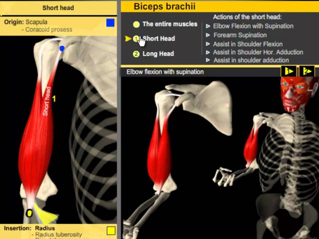 Biceps Brachii Muscle Build Proportioned Biceps - Anatomy Kinesiology biceps brachii muscle build proportioned biceps -