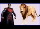 The Lion king Vs RedBatman 3d Finger Family|Collection Baby Nursery rhymes| Penguin cartoon songs