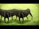 Cyriak - Cows Cows Cows.mp4