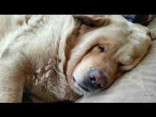 Храпящий пес стал героем интернета