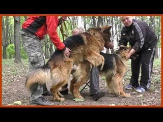 ВЯЗКА Немецких Овчарок Дольфа и Дагиры. Mating dogs. Perros de apareamiento. कुत्ता संभोग।