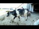 Может ли корова родить после КЕСАРЕВА СЕЧЕНИЯ?