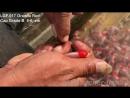 LGF.017 Oranda Red Cap Grade B (А)