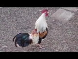 Животные поют_ Seven Nation Army