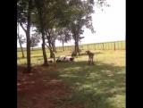 Лоб в Лоб!!)) Баран и Корова!!