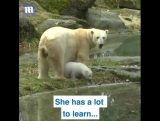 This baby Polar bear has a lot to learn!