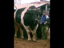 Самый большой бык в Мире казахский Акбас Шок на выставке Беспредельные 1200 кг