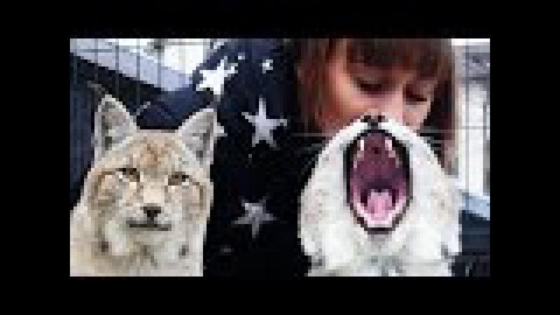 САМАЯ РЕДКАЯ РЫСЬ И ДРУГИЕ КИСТЕУХИЕ КОШКИ. Обзор видов рысей Lynx