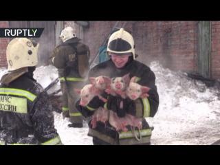 Томские спасатели на руках вынесли 150 поросят из горящего здания