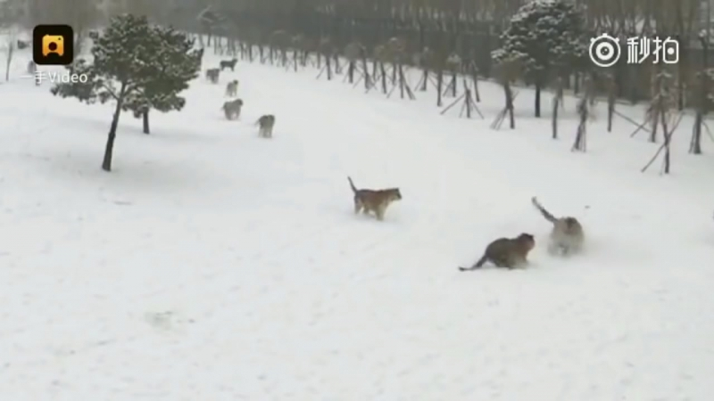 Siberian Tigers Attack Drone - AMAZING Video from Chinese Tiger Park