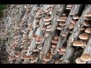 Грибы шиитаке, посадка мицелия на чурки