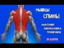 МЫШЦЫ СПИНЫ. 10 Фактов. Анатомия, Тренировки и Биомеханика