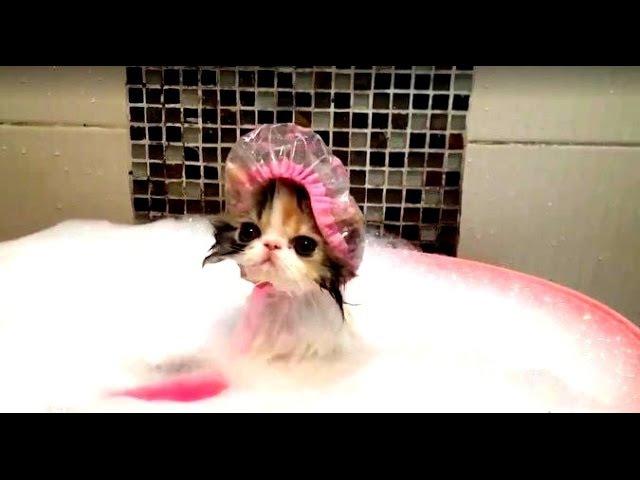 ТОП 10 Кошки которые любят купаться TOP 10 Cats who love to swim Top10 o swim