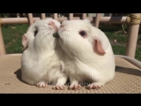 Романтический обед морских свинок