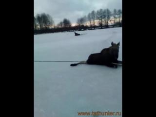 Спасение лосей -оказывает помощь лосятам попавшим на скользкий лед. Приятно смотреть)