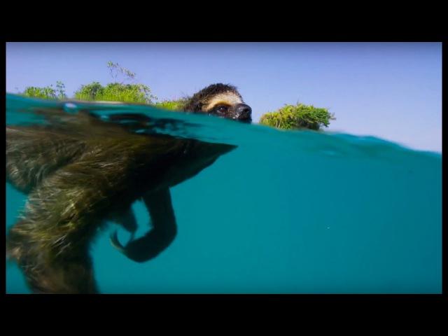 Ленивец плывет в поисках самки - Планета земля 2 - Planet Earth II in english