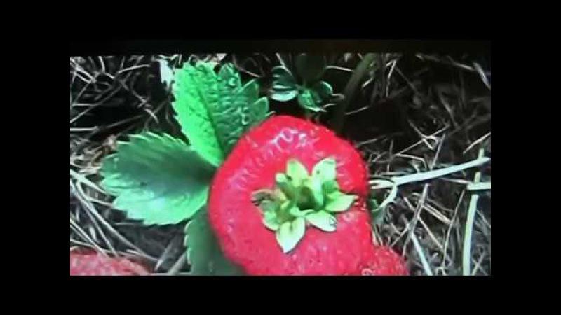 Земляника садовая крупноплодная Ремонтантная и НСД часть -5Секреты хороших урожаев.