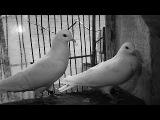 Настоящие бакинские голуби ( Ереван. Армения )(Haykakan axavniner IJEVAN (GANDZAQAR ))