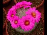 Цветущие кактусы красота.Фото