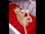 Этот котенок бежит к своей кроватке, когда хочет бутылку с молоком -  как настоящий ребенок