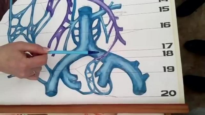 Вены большого круга кровообращения Системы верхней, нижней полый вен и воротной вены