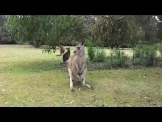 Кенгуренок прикольно залезает в сумку мамы кенгуру