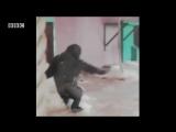 Dancing gorilla at the Twycross Zoo like a ballerina!!! #HD#viralvideo