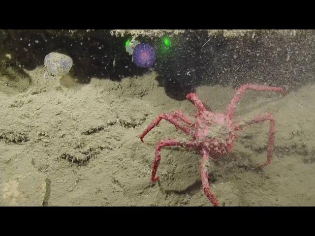 Mysterious Purple Orb | Nautilus Live неопознанная форма жизни на дне океана