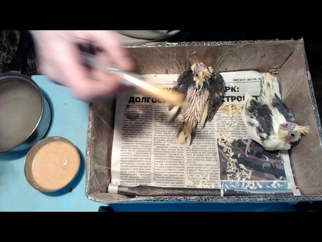 Выкормыши кореллы. Как кормить птенцов попугая. Первая кормежка.