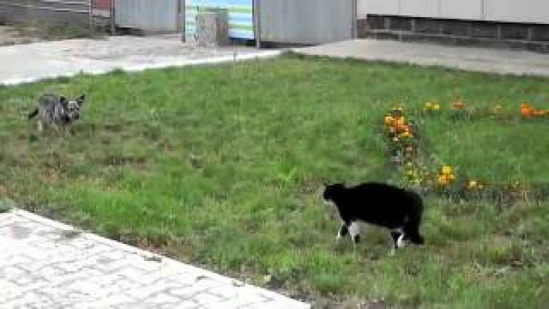 Забавная драка Дуэль кота и собаки mp4