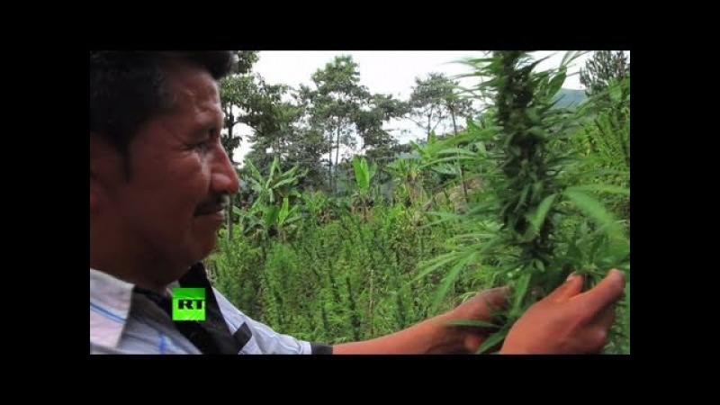 Крайняя нищета вынуждает колумбийских крестьян выращивать марихуану