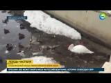 Казанский лебедь очистил озеро от мусора