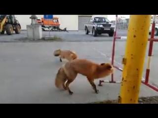 Узнал, как лисы говорят