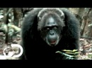 Most Brutal Chimpanzee Society Ever Discovered Rise of the Warrior Apes