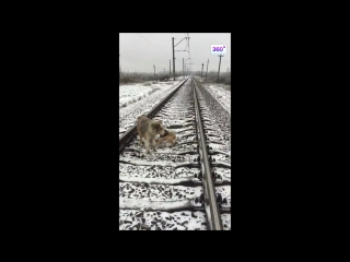 Пес двое суток под проносившимися поездами согревал раненую мать.