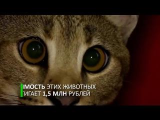 В Санкт-Петербурге показали самого дорогого кота