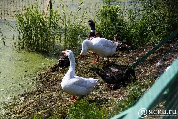 В Якутске появилось «лебединое озеро» 😋😅
