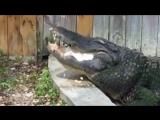 Аллигатора кормят тортом на день рождения