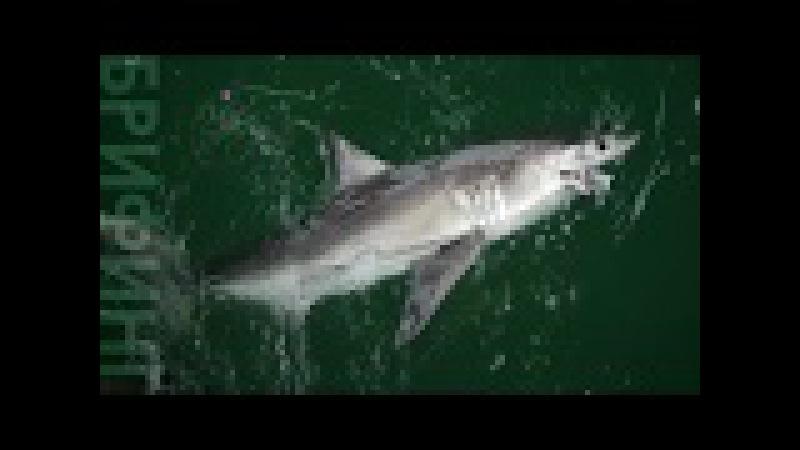 Поймать акулу с пирса