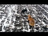 Охота с ягдтерьером
