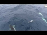 Southern Right Whale dolphins playing in Tecla's bow wave, Southern Ocean.